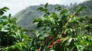 high altitude coffee