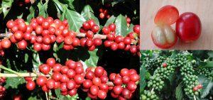 coffee cherry beans