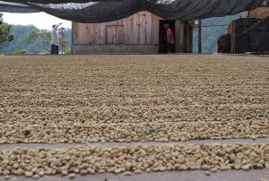 natural coffee process